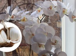 Орхидея будет цвести до 6 месяцев, если ее поливать именно так