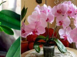 Узнайте главный секрет разведения орхидей! Можно сделать хоть сотню цветущих красавиц из одной