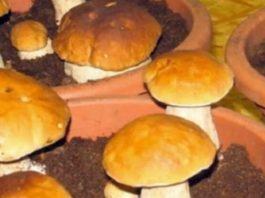 Вот так можно легко выращивать белые грибы дома на подоконнике