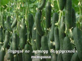 Сажаю огурцы по методу белорусской тётушки. Урожай супер!