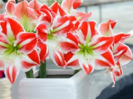 Ядовитые комнатные растения: 10 цветов, которые могут вас убить